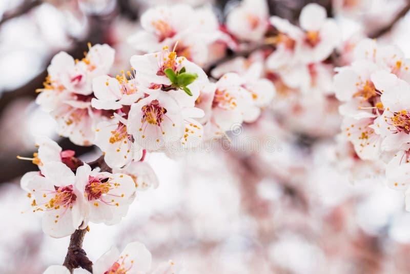 Mooie de lenteachtergrond van Kersenbloesem in volledige bloei royalty-vrije stock fotografie