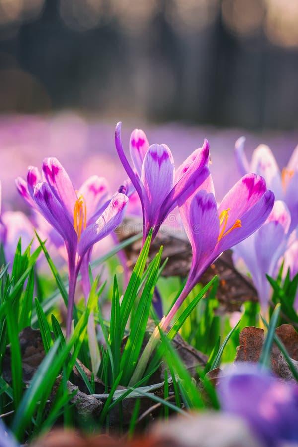 Mooie de lenteachtergrond, violette krokus of saffraanbloemen in aard royalty-vrije stock afbeeldingen