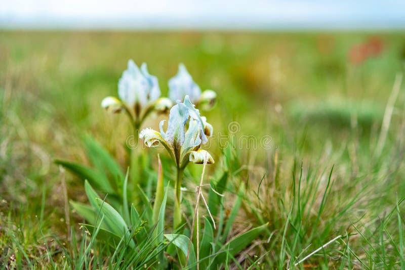 Mooie de lentebloem Wilde irissen die, de lentesteppe het tot bloei komen tot bloei komen royalty-vrije stock fotografie