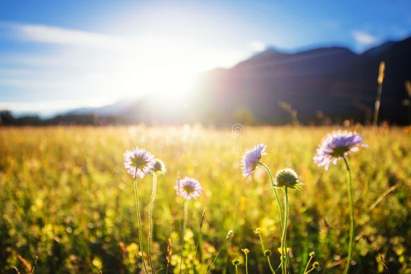 Mooie de lenteweide Zonnige duidelijke hemel met zonlicht in bergen Kleurrijk gebiedshoogtepunt van bloemen Grainau, Duitsland stock foto's