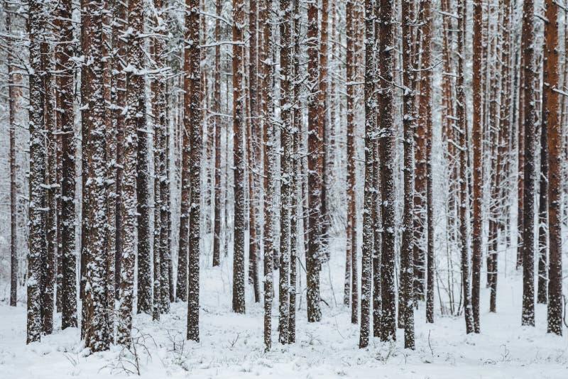 Mooie de winter bosdieBoomstammen van bomen met sneeuw worden behandeld Het landschap van de winter De de witte grond en bomen va royalty-vrije stock afbeeldingen
