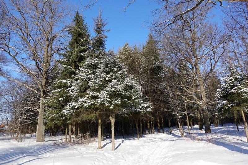 Mooie de winter bosdiePijnboom met sneeuw wordt behandeld Gemengd bos tegen de blauwe hemel Rusland royalty-vrije stock afbeeldingen