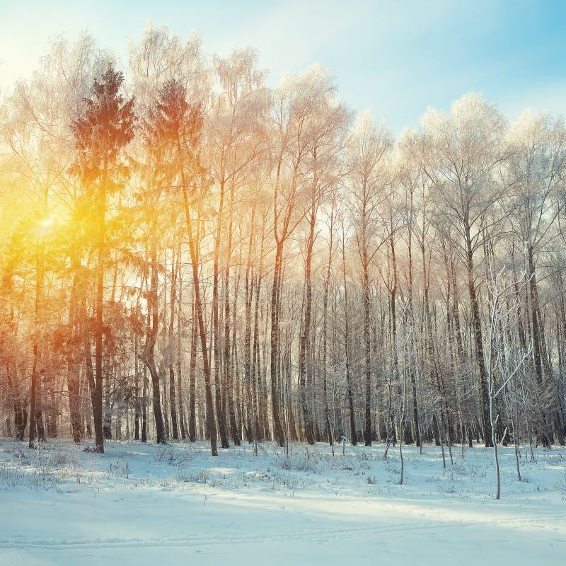 Mooie de winterzonsondergang met berkbomen in de sneeuw stock fotografie