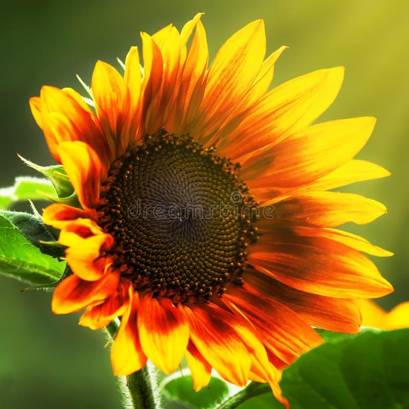 Mooie de zomerzonnebloemen, natuurlijke vage achtergrond, selectieve nadruk, ondiepe diepte van gebied stock afbeelding