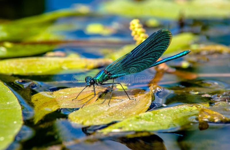 Mooie Demoiselle zit op de rivier stock afbeeldingen