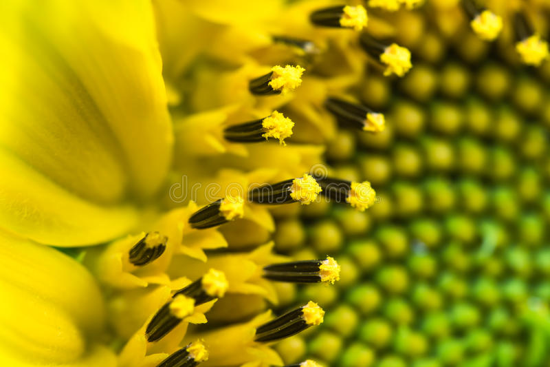 Mooie detail macro dichte omhooggaand van stampers van bloeiend geelgroen hoofd van zonnebloem, patroon abstracte achtergrond royalty-vrije stock fotografie