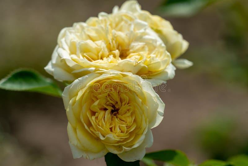 Mooie dichte omhooggaand van drie gele zonlichtromantica nam bloemhoofden toe royalty-vrije stock fotografie