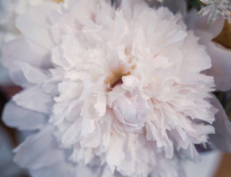 Mooie dichte omhooggaand van een witte pioenachtergrond stock foto's