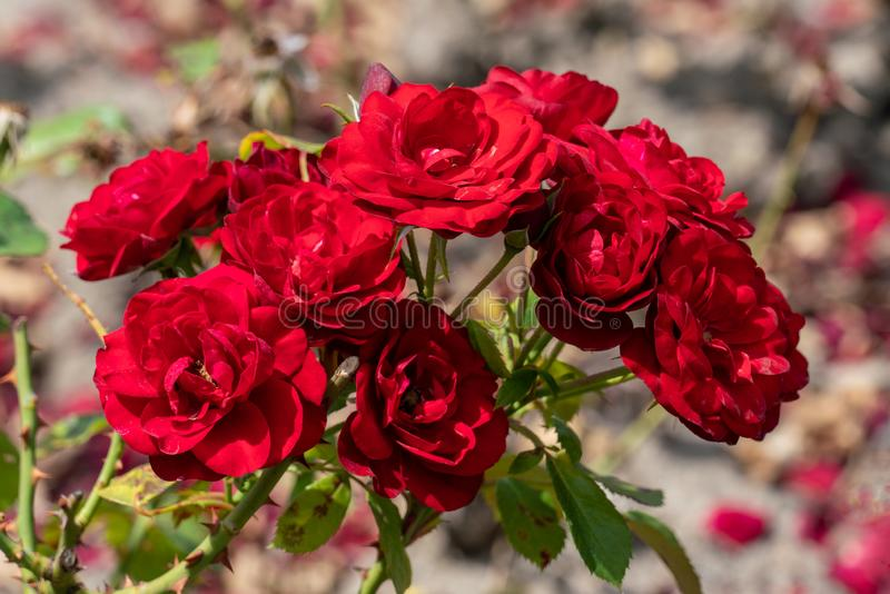 Mooie dichte omhooggaand van verscheidene rode roze bloemhoofden van Duitse lavaglut nam toe stock fotografie