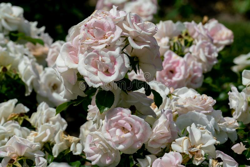Mooie dichte omhooggaand van verscheidene witte roze bloemhoofden van de Duitse gronddekking nam aspirin toe royalty-vrije stock foto's