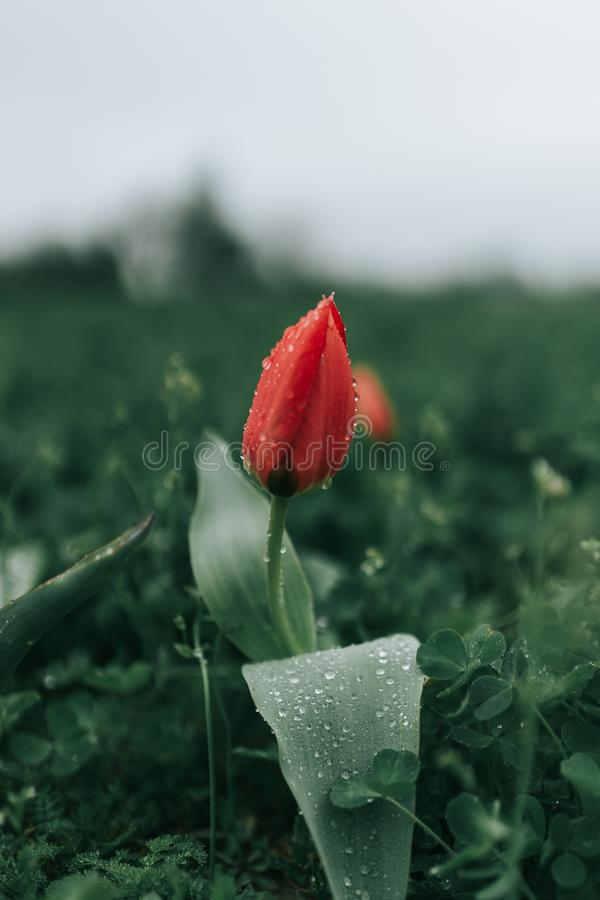 Mooie die close-up van een rode papaverbloem wordt geschoten op een groot groen bloemgebied met ochtenddauw op het royalty-vrije stock afbeelding