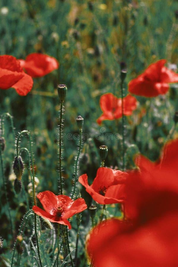 Mooie die close-up van rode papaverbloemen wordt geschoten die op een groen gebied bloeien royalty-vrije stock afbeelding