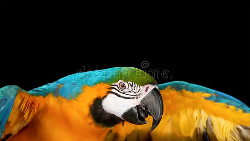 Mooie die de vogelpapegaai van de macorepapegaai op donkere achtergrond wordt geïsoleerd stock foto's