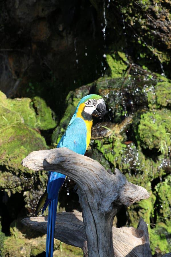Mooie die de vogelpapegaai van de Macorevogel op het droge hout wordt neergestreken stock fotografie