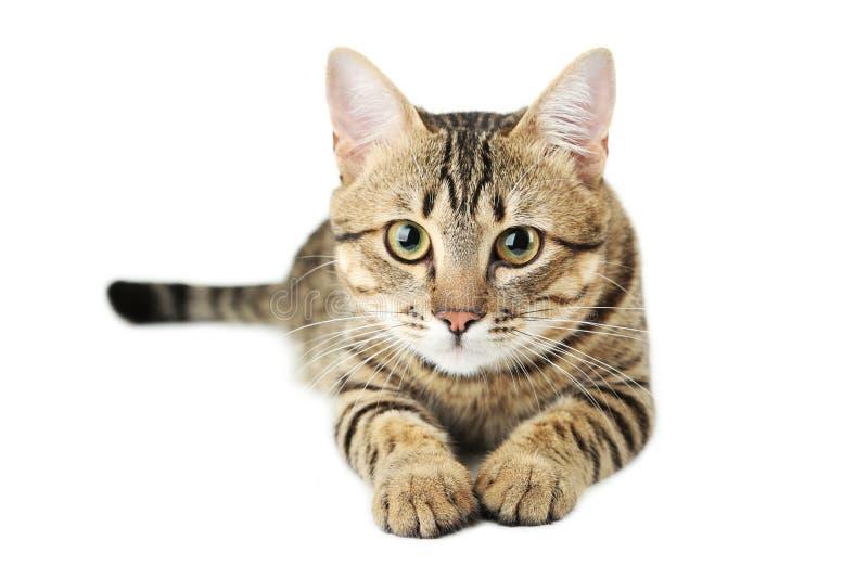 Mooie die kat op wit wordt geïsoleerd royalty-vrije stock fotografie