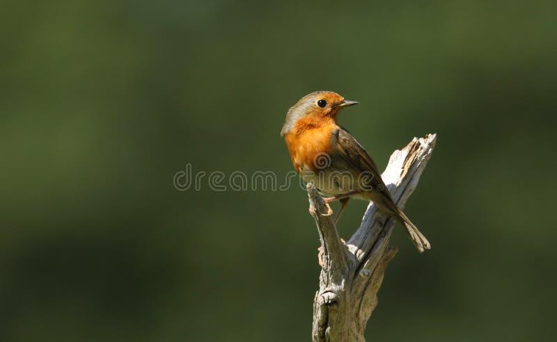 Mooie die Robin, Erithacus-rubecula, op een boomstomp wordt neergestreken royalty-vrije stock foto's