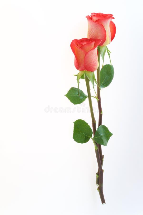 Mooie die rood nam bloemen op de witte achtergrond worden geïsoleerd toe stock afbeelding