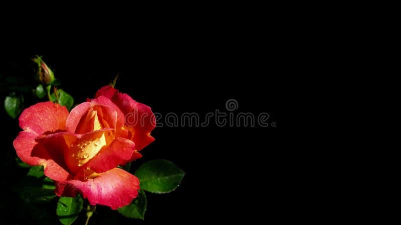 Mooie die rood nam met dauwdalingen op zwarte achtergrond worden ge?soleerd toe Perfectioneer voor achtergrondgroetkaarten en uit royalty-vrije stock foto's