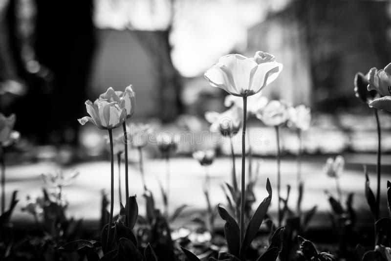 Mooie dramatische zwart-wit bloeiende papegaaitulpen op park of tuin vage achtergrond royalty-vrije stock foto