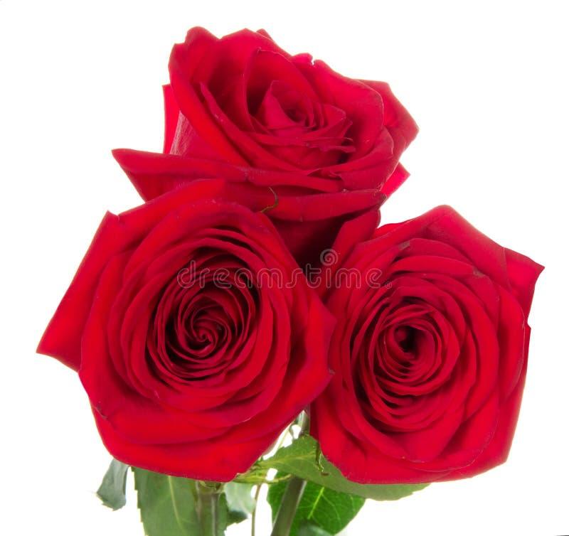 Mooie drie rode rozen stock foto