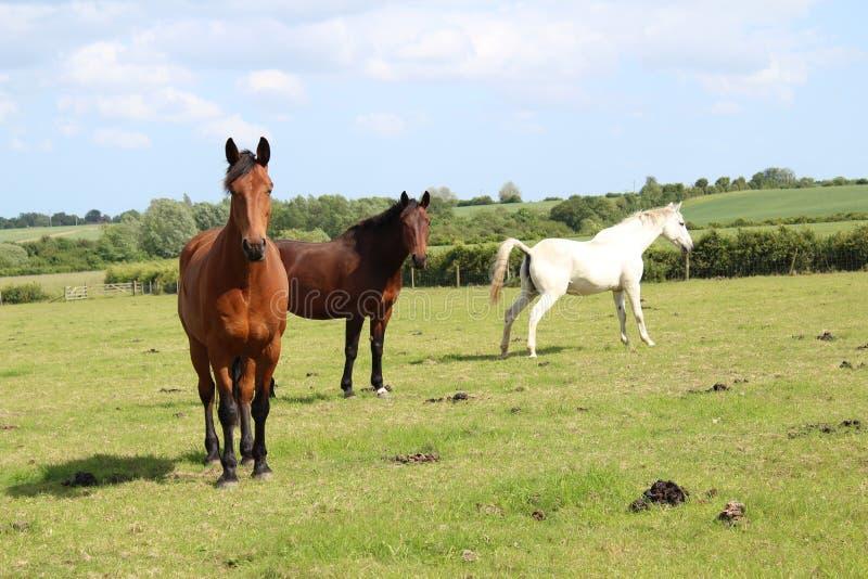 Mooie drie verschillende kleurenpaarden royalty-vrije stock afbeelding