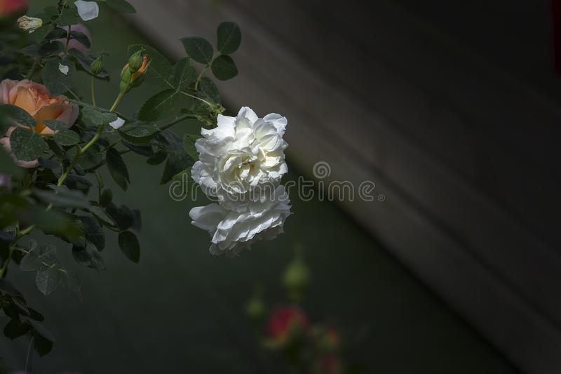 Mooie dubbele wit nam bloemenclose-up toe royalty-vrije stock foto