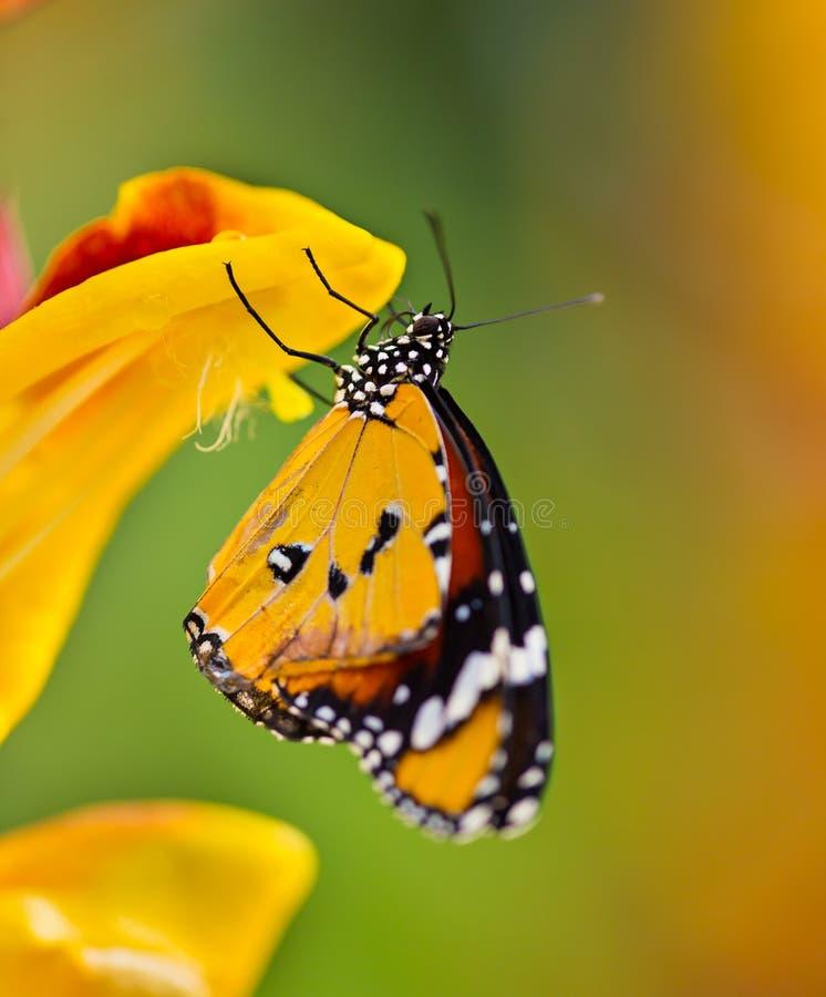 Mooie Duidelijke Tijgervlinder die (Danaus-chrysippus) op bloem neerstrijken stock foto's
