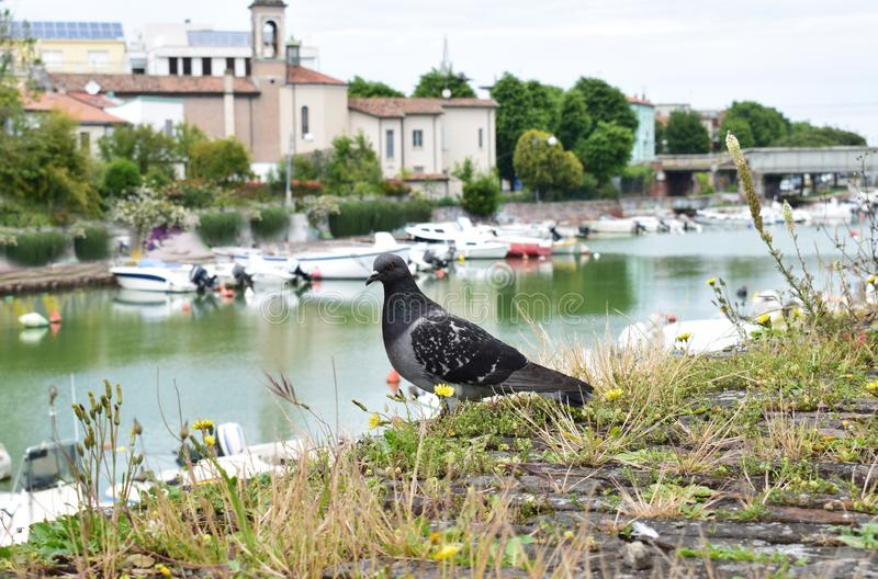 Mooie duif, Rimini, Italië royalty-vrije stock foto's
