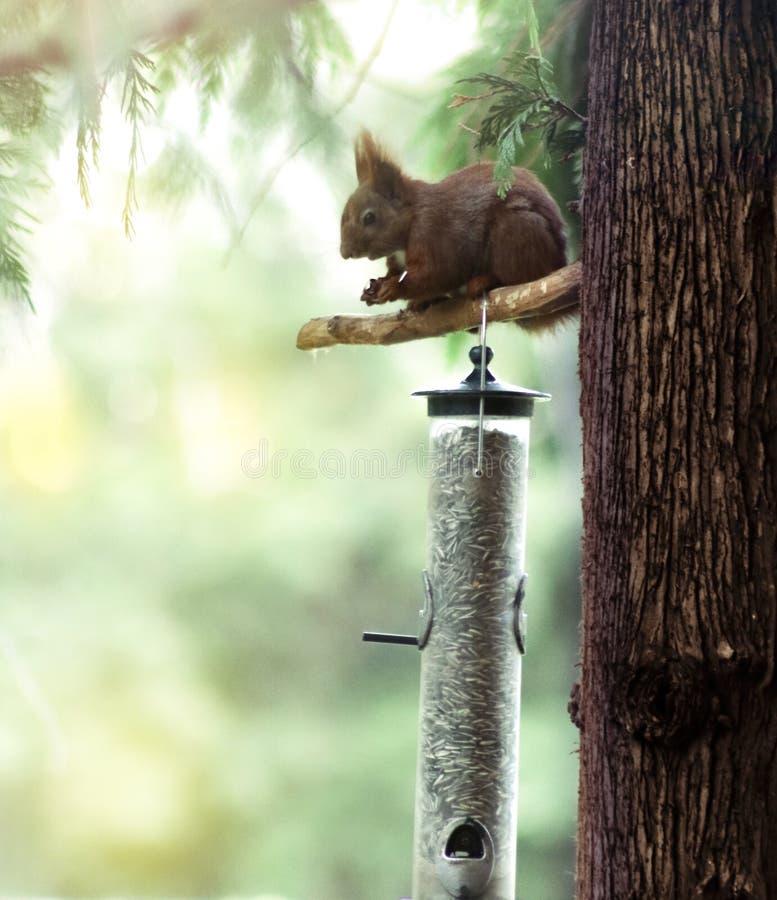 Mooie eekhoorn die in het bos eten stock afbeeldingen