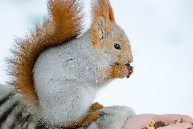 Mooie eekhoorn die noten eten die bij een vrouwenhand zitten stock fotografie
