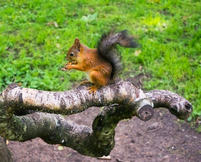 Mooie eekhoorn met noot in het bos stock foto's