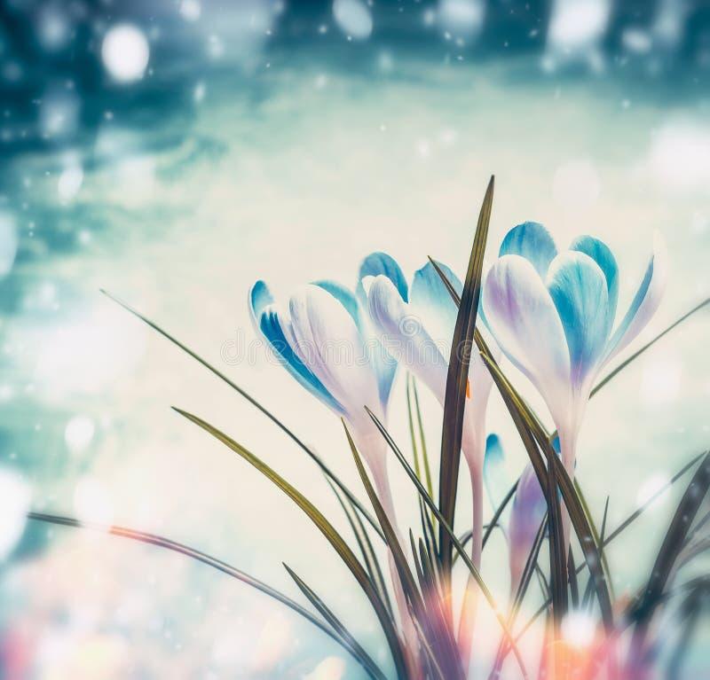 Mooie eerste krokussen op blauwe sneeuwachtergrond met zonnestraal bokeh, de lenteaard royalty-vrije stock afbeeldingen