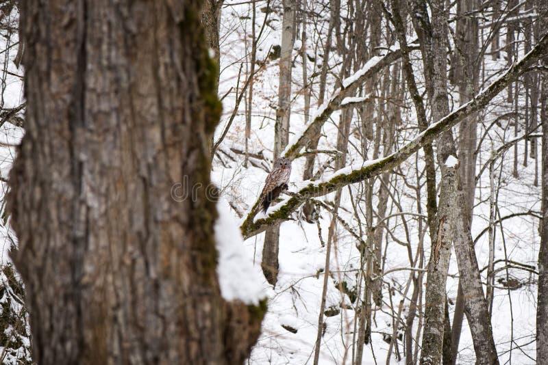 Mooie eigen zitting op tak in bos in de witte, sneeuwwinter stock foto's