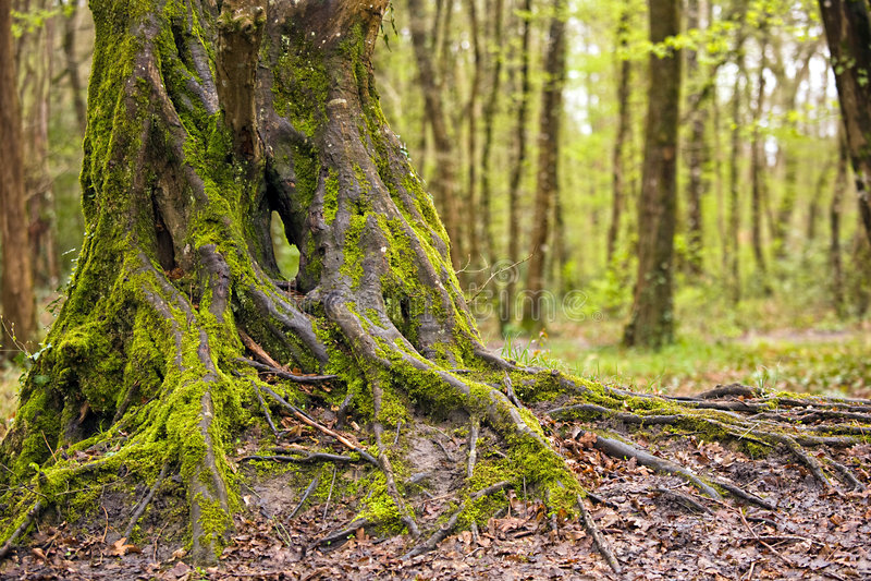Mooie eiken boomboomstam stock afbeelding