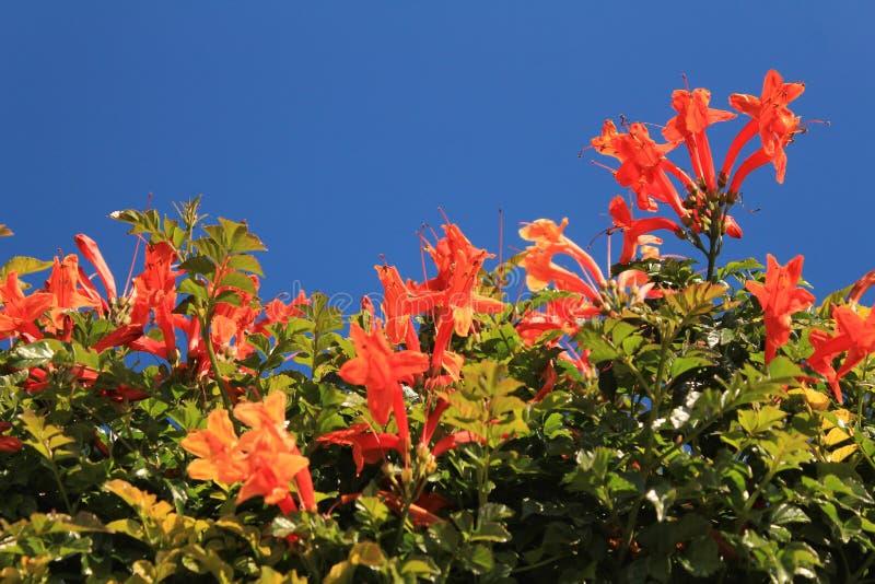 Mooie en Kleurrijke Oranje Bignonia-Capensis bloemen stock foto's