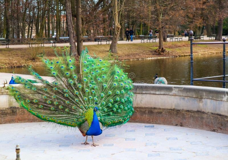 Mooie en kleurrijke pauw in het Koninklijke Park van Lazienki van het Badenpark Warshau, Polen stock afbeeldingen