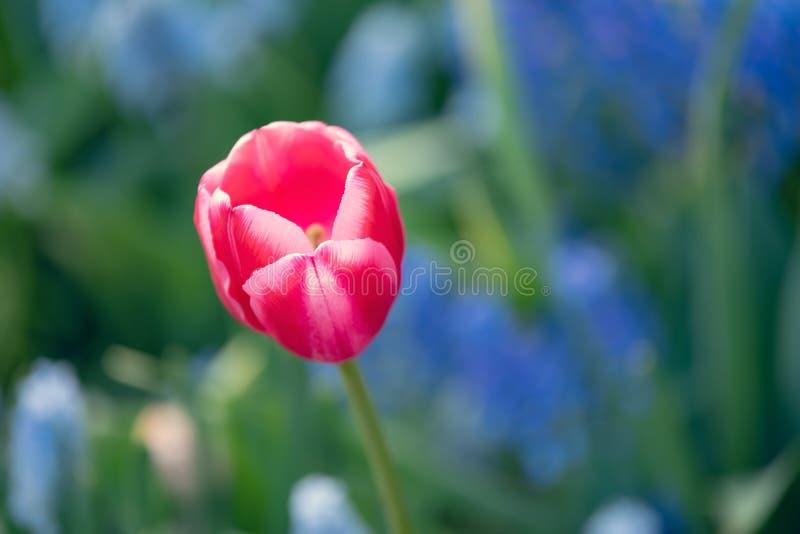 Mooie en kleurrijke roze-witte tulpen op blauwe en groene kleurenachtergrond stock afbeelding