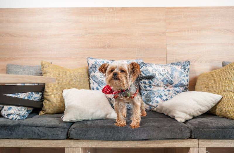 Mooie en leuke bruine hond weinig puppy die van Yorkshire Terrier op de hoofdkussens van de bank beklimmen royalty-vrije stock afbeeldingen