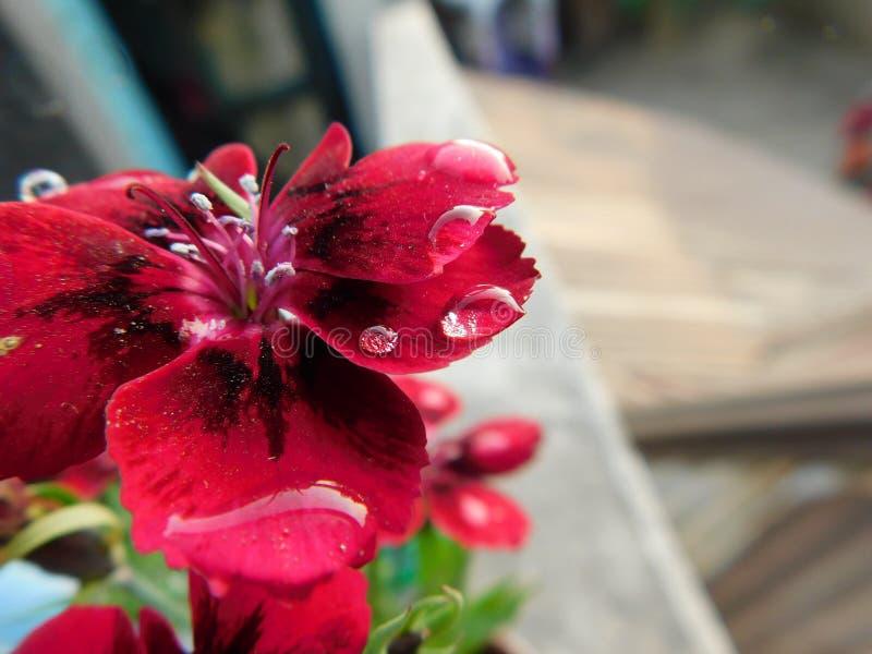 Mooie en leuke rode tuinbloem met weinig veelvoudige waterdruppeltjes stock foto