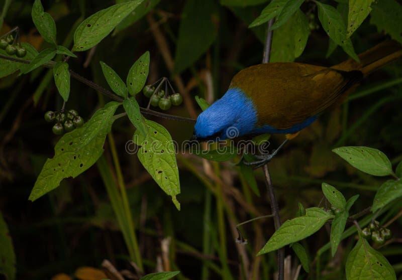 Mooie en natuurlijke scène blauwe en bruine vogel bij kleine stad galipan in Venezuenal stock foto
