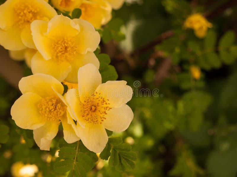 Mooie en overweldigende zachte gele kleine rozen die uit in thi porren stock foto's
