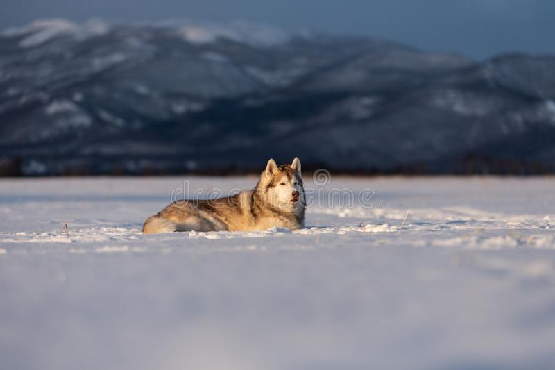 Mooie en prideful Siberische schor hond die in het sneeuwgebied in de winter bij zonsondergang liggen royalty-vrije stock foto