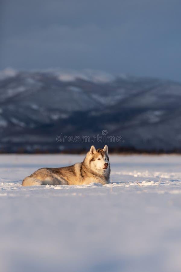 Mooie en prideful Siberische schor hond die in het sneeuwgebied in de winter bij zonsondergang liggen stock afbeelding