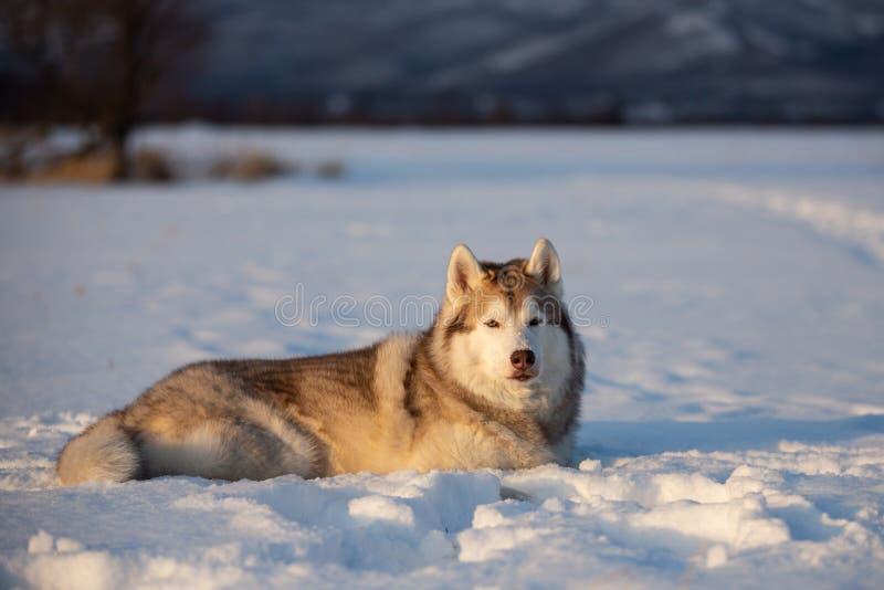 Mooie en prideful Siberische schor hond die in het sneeuwgebied liggen in de winter royalty-vrije stock foto's