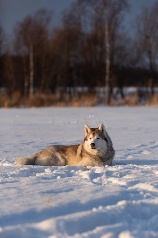 Mooie en prideful Siberische schor hond die in het sneeuwgebied liggen in de winter royalty-vrije stock afbeelding
