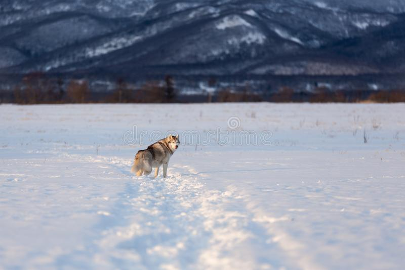 Mooie en prideful Siberische schor hond die zich op het sneeuwgebied bevinden in de winter royalty-vrije stock foto's