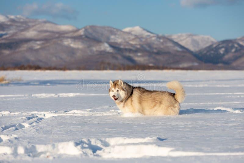 Mooie en prideful Siberische schor hond die zich op het sneeuwgebied bevinden in de winter stock foto's