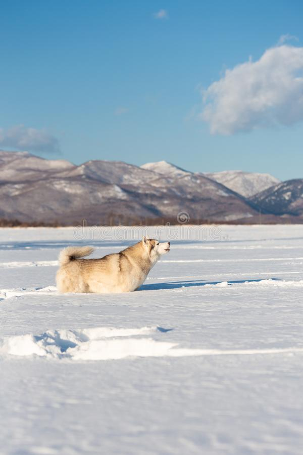 Mooie en prideful Siberische schor hond die en zich op het sneeuwgebied bevinden huilen in de winter royalty-vrije stock afbeeldingen
