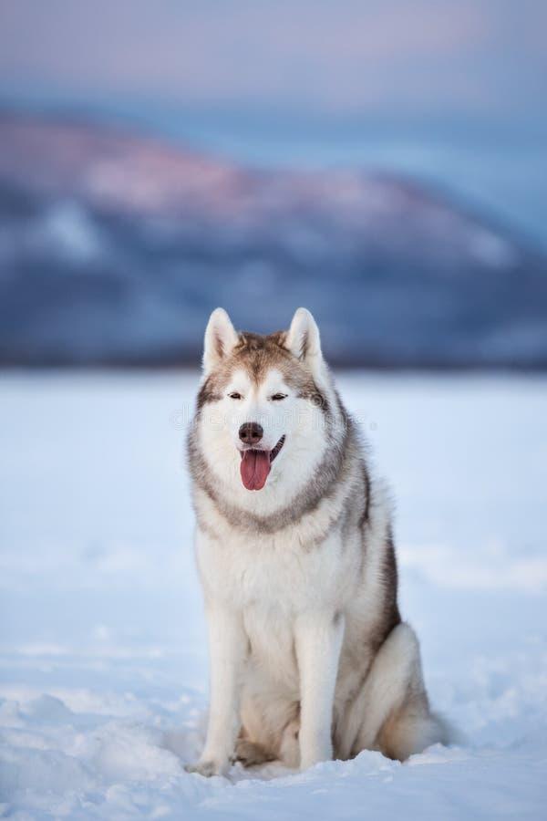 Mooie en prideful Siberische schor hondzitting op het sneeuwgebied in de winter royalty-vrije stock foto