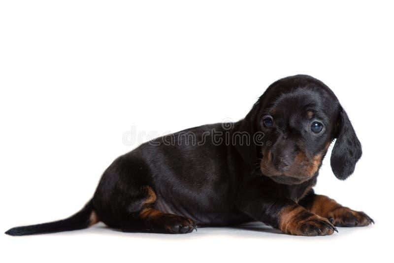 Mooie en puppytekkel die zijdelings ligt eruit ziet royalty-vrije stock afbeeldingen